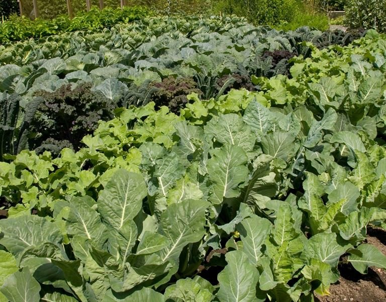 Allotment Vegetable growing photo
